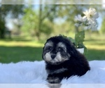 Small #5 Havanese-Poodle (Toy) Mix