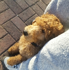 Poodle (Standard) Dogs for adoption in MILWAUKEE, WI, USA
