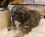 Puppy 4 Great Pyrenees-Poodle (Miniature) Mix