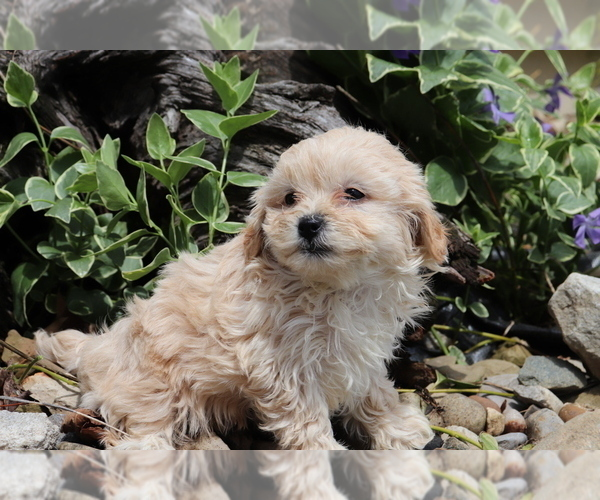 Medium Photo #4 Shih-Poo Puppy For Sale in SHILOH, OH, USA