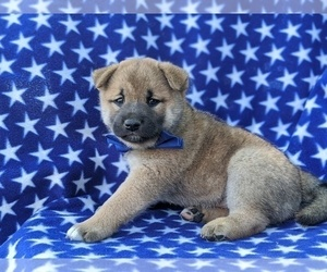 Shiba Inu Puppy for sale in ATGLEN, PA, USA