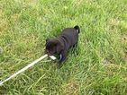 Friendly Litter of CKC Registered Pugs