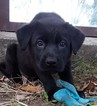 German Shepherd Dog-Rottweiler Mix Puppy For Sale in COLRAIN, MA, USA