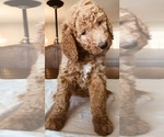 Puppy 7 Poodle (Standard)