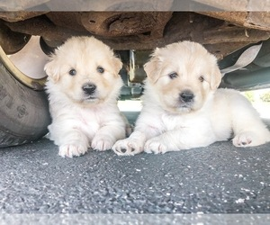 Golden Retriever-Samoyed Mix Puppy for Sale in HUBERTUS, Wisconsin USA