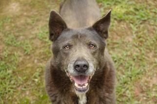 Velvet - German Shepherd Dog / Chow Chow / Mixed Dog For Adoption