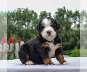 Bernese Mountain Dog Puppy for sale in NARVON, PA, USA