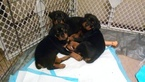 Rottweiler Puppy For Sale in KANSAS CITY, MO, USA