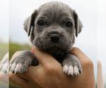 Puppy 2 Neapolitan Mastiff