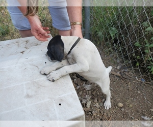 German Shorthaired Pointer Puppy for Sale in RATHDRUM, Idaho USA