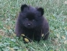Pomeranian Puppy For Sale in BETHEL, OH