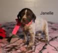 German Shorthaired Pointer Puppy For Sale in RAGERSVILLE, Ohio,