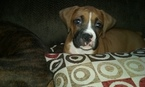 Boxer Puppy For Sale in NEW CASTLE, IN,