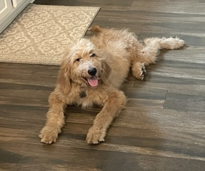 Goldendoodle Dog for Adoption in ATASCOCITA, Texas USA