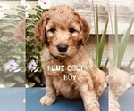 Puppy 6 Goldendoodle