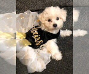 Bichon Frise Puppy for sale in CLEAR LAKE CITY, TX, USA