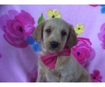 Double Doodle Puppy For Sale in CHRISTIANA, PA, USA