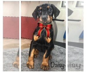 Doberman Pinscher Puppy for Sale in SAINT LOUIS, Missouri USA