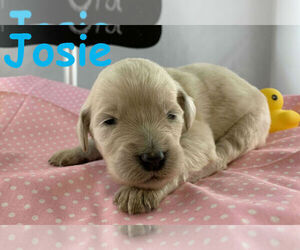 Goldendoodle-Poodle (Standard) Mix Puppy for sale in WINSTON SALEM, NC, USA