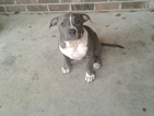 American Bully Puppy For Sale in MOBILE, AL