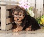 Small Photo #2 YorkiePoo Puppy For Sale in MOUNT VERNON, OH, USA