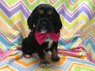 Cocker Spaniel Puppy for sale in NARVON, PA, USA