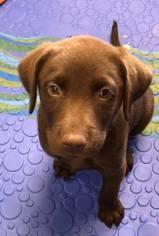 Labrador Retriever Puppy For Sale in KOKOMO, IN, USA
