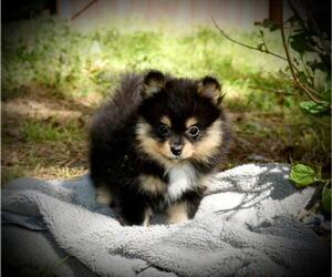 Pomeranian Puppy for Sale in DINWIDDIE, Virginia USA