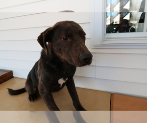 Plott Hound Dog for Adoption in KALAMAZOO, Michigan USA