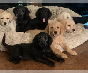 Labradoodle Puppy for Sale in HASLET, Texas USA