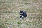 Small #4 Labrador Retriever-Siberian Husky Mix