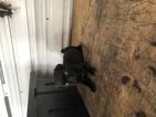 Pug Puppy For Sale in MARYSVILLE, Ohio,