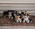 Pembroke Welsh Corgi Puppy For Sale in MERRIMAC, WI, USA