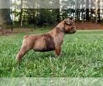 Small #2 Olde English Bulldogge