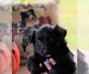 Australian Shepherd Puppy for Sale in DANVILLE, Pennsylvania USA