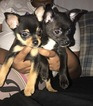 Chihuahua Puppy For Sale in CONCORD, CA