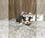 Puppy 7 Boston Terrier
