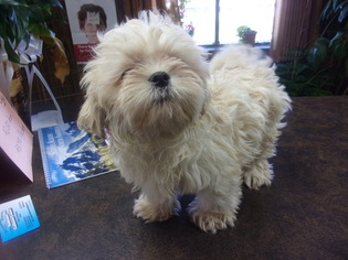 Shih Tzu Puppy for sale in MENDOTA, IL, USA