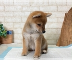 Small Photo #4 Shiba Inu Puppy For Sale in SEATTLE, WA, USA
