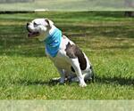 Small #31 Bulldog