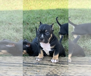American Bully Puppy for sale in AKRON, OH, USA