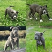 Blue Pit Puppies