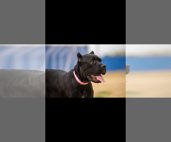 Full screen Photo #1 Cane Corso Puppy For Sale in PHOENIX, AZ, USA
