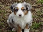 Australian Shepherd Puppy For Sale in PRINEVILLE, OR