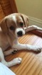 Cavalier King Charles Spaniel-Unknown Mix Puppy For Sale in PITTSBURGH, PA, USA