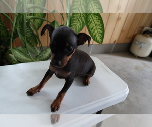 Miniature Pinscher Puppy for sale in CHICAGO, IL, USA