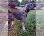 Small #2 Irish Wolfhound