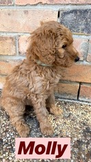Goldendoodle Puppy For Sale in MIDLOTHIAN, TX, USA