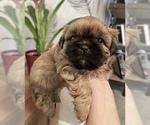Small Photo #2 Shih Tzu Puppy For Sale in BUFORD, GA, USA