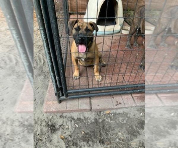 Medium Photo #1 Presa Canario Puppy For Sale in JACKSONVILLE, FL, USA